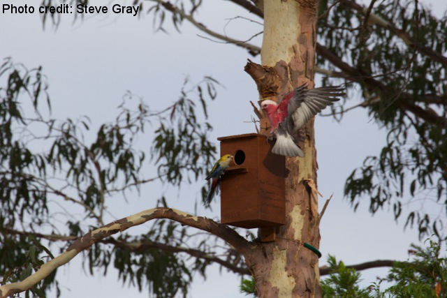 Galah altercation