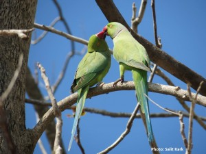 Salit Kark photo Rose ringed parakeets
